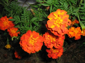 "In the language of flowers, marigolds mean, ""Don't be disappointed.  Just try again."""