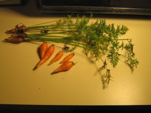 Baby?  Micro? Carrots from the container garden