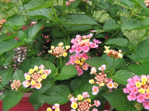 These lantana keep blossoming like crazy