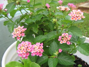 Close up to the lantana, it's easy to see that each flower is really a cluster of small, flat flowers
