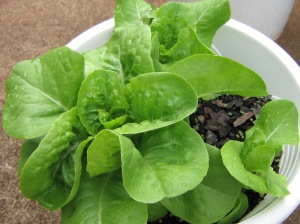 lettuce (buttercrunch), part of which is going to be today's lunch