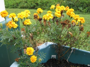 Marigolds, flowers and seeds, still going strong