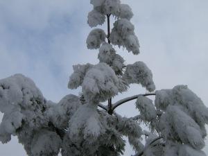 Single Snowy Pine