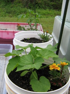 Squash, Tomato, and Marigold seedlings on a rainy day