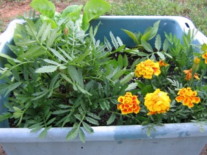 Do marigolds plot dominion?  Today, this container.  Tomorrow, the world!