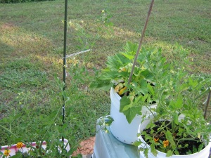 Tomato growing tall... the stake is more of a suggested path than firm requirement
