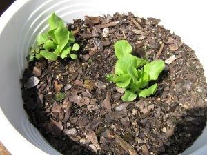Lettuce Post Rabbitocalypse
